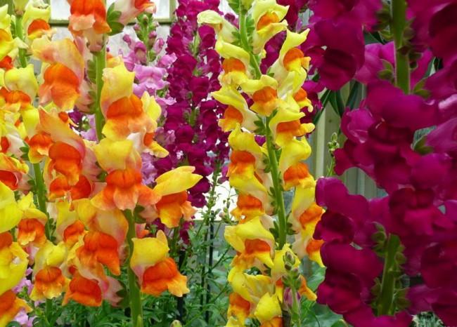 Цветы гладиолусы посадка и уход