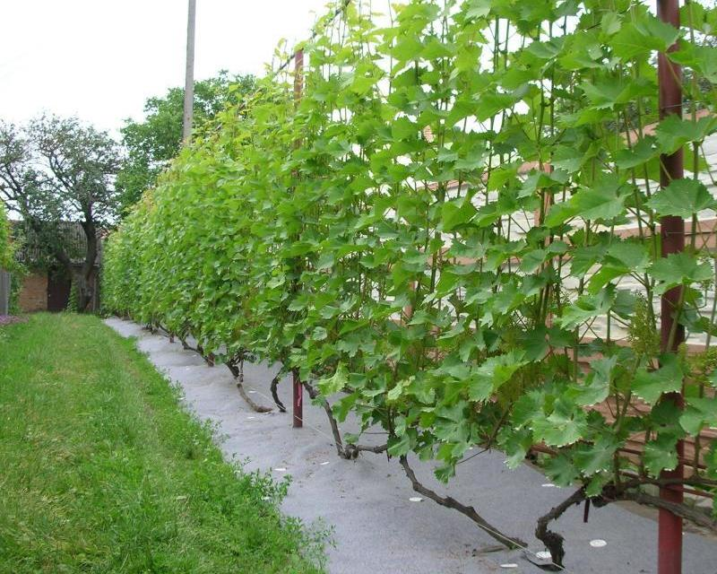 виноград подвязка