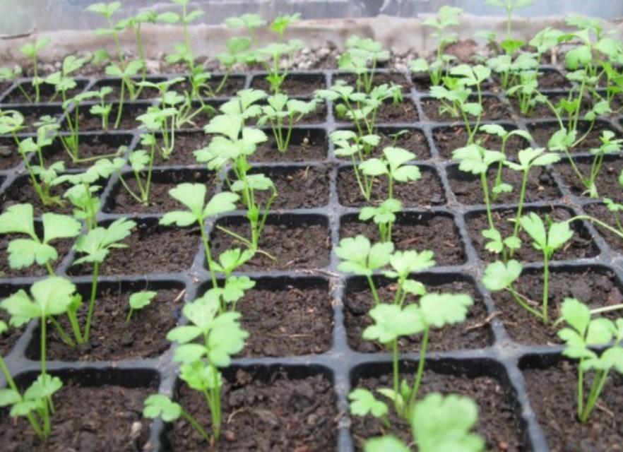 Когда сажать семена петрушки в открытый грунт