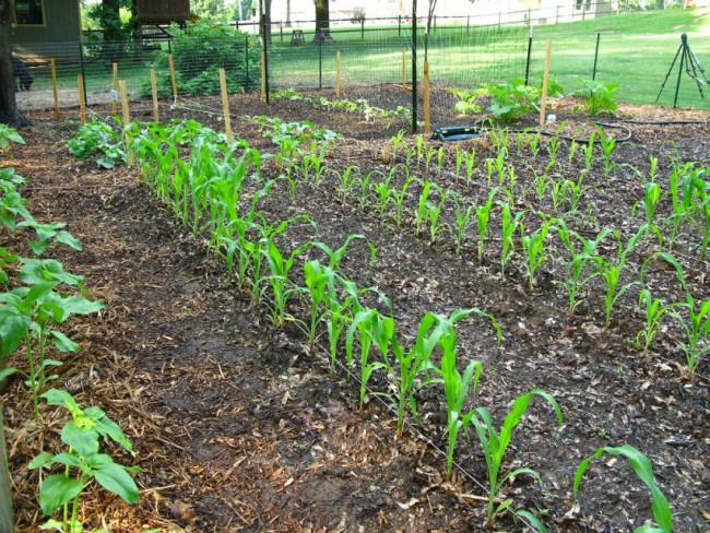посадка кукурузы рядами