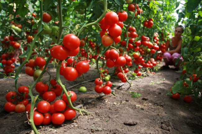 томаты подкормка