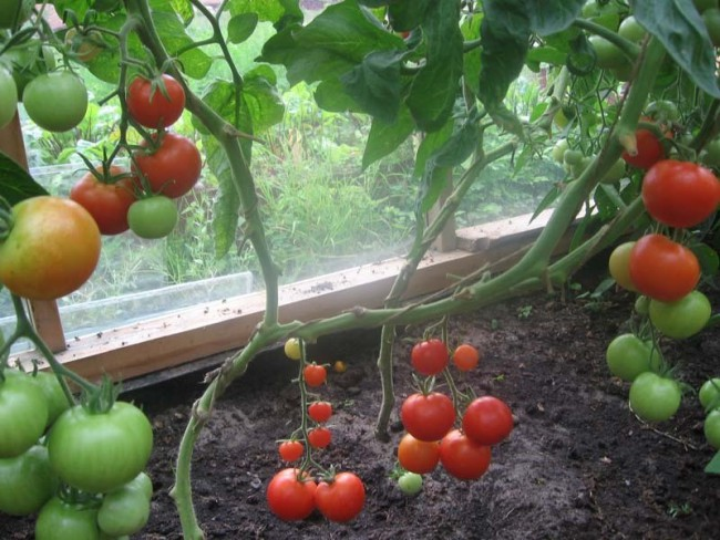 помидоры теплица