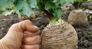 Сельдерей корневой