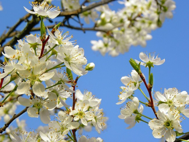 слива цветение