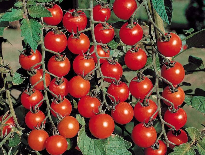 Когда сажают помидоры черри 656