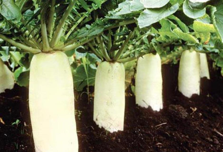 Дайкон выращивание из семян 406