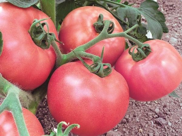 томаты помидоры