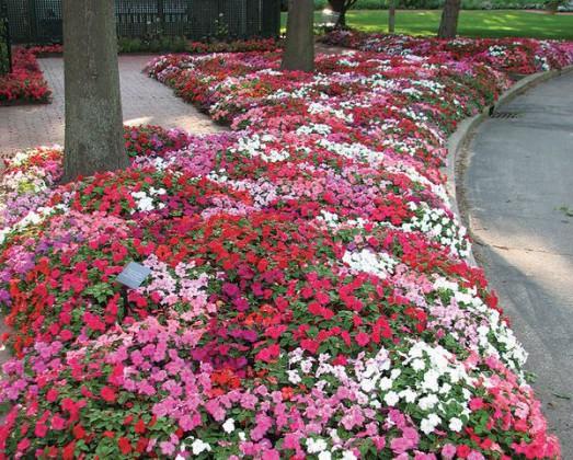 Цветок агератум представляет собой многолетнее полукуста Посадка семян помидоров на рассаду в домашних условиях: правила посева.