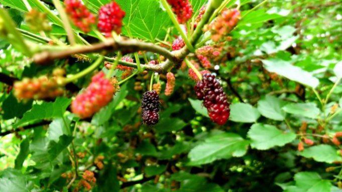 Шелковица выращивание и уход в средней полосе полезные свойства 39