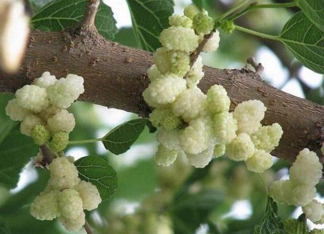 Шелковица выращивание и уход в средней полосе полезные свойства 22
